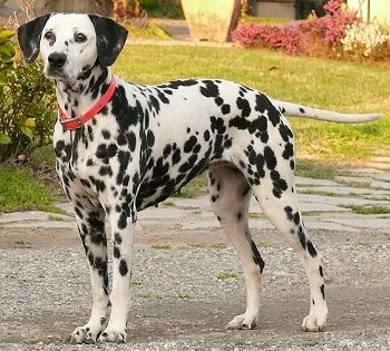 Breed of the Week: Dalmatian
