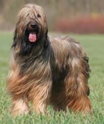 Breed of the Week: Briard