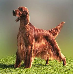 Breed of the Week: Irish Setter