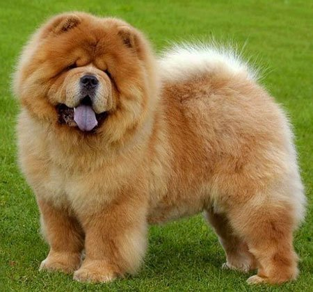 Breed of the Week: Chow Chow
