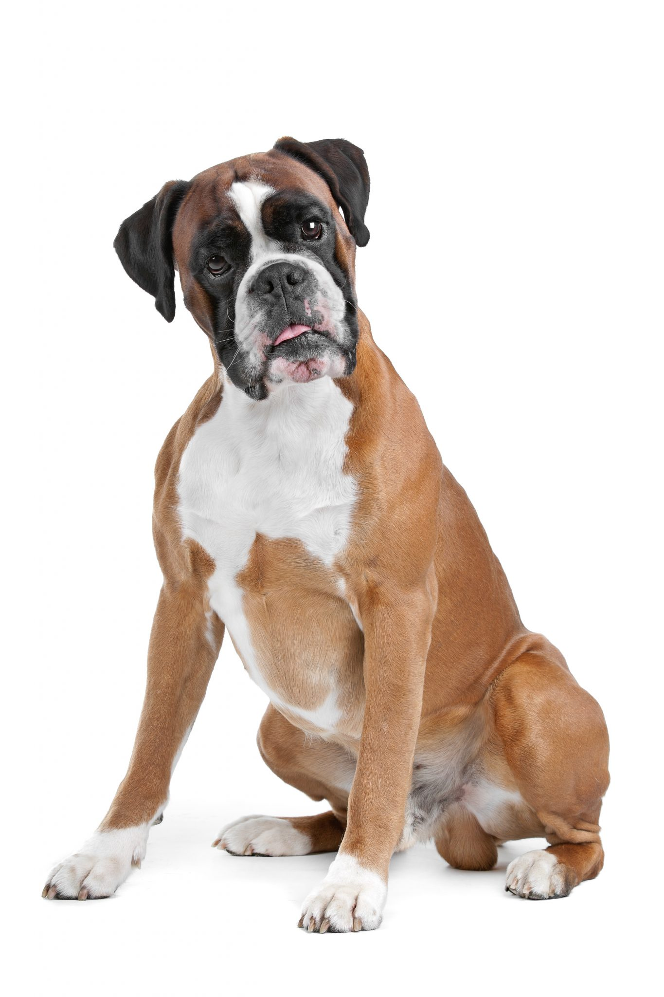 Breed of the Week: Boxer | Paws Playgrounds