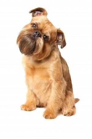 Breed of the Week: Brussels Griffon