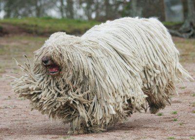 Breed of the Week: Komondor