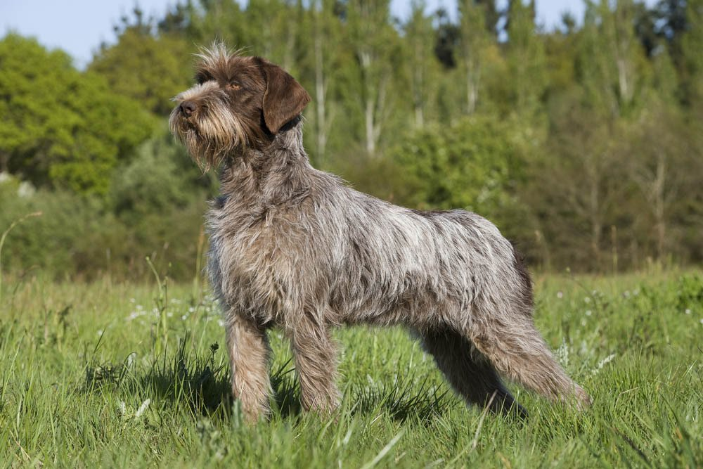 Grooming A Wirehaired Dog