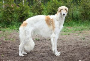 Russian borzoi, greyhound dog standing. Outdoor shoot