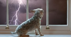 dog watching storm