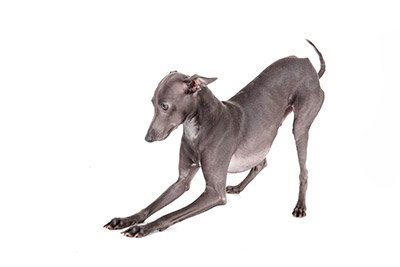Breed of the Week: Italian Greyhound