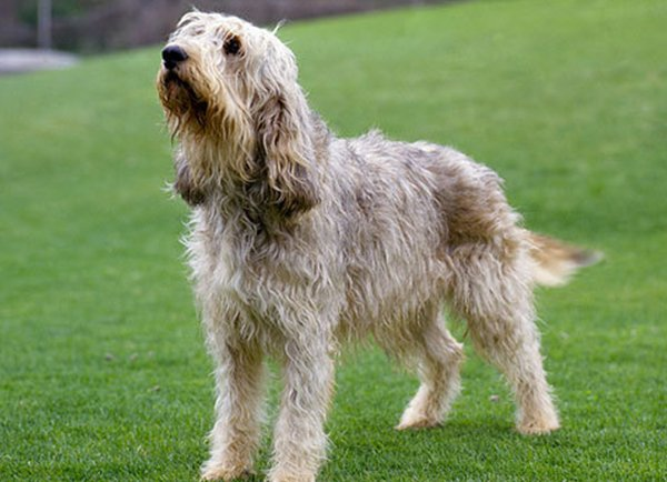 Breed of the Week: Otterhound