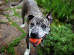senior dog with ball