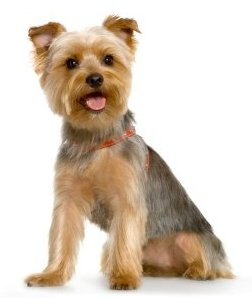 Breed of the Week: Yorkshire Terrier